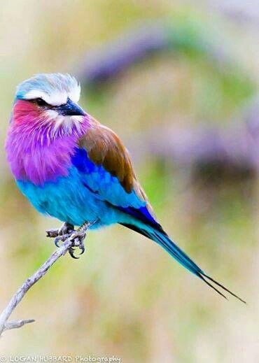 Lilac crestted roller