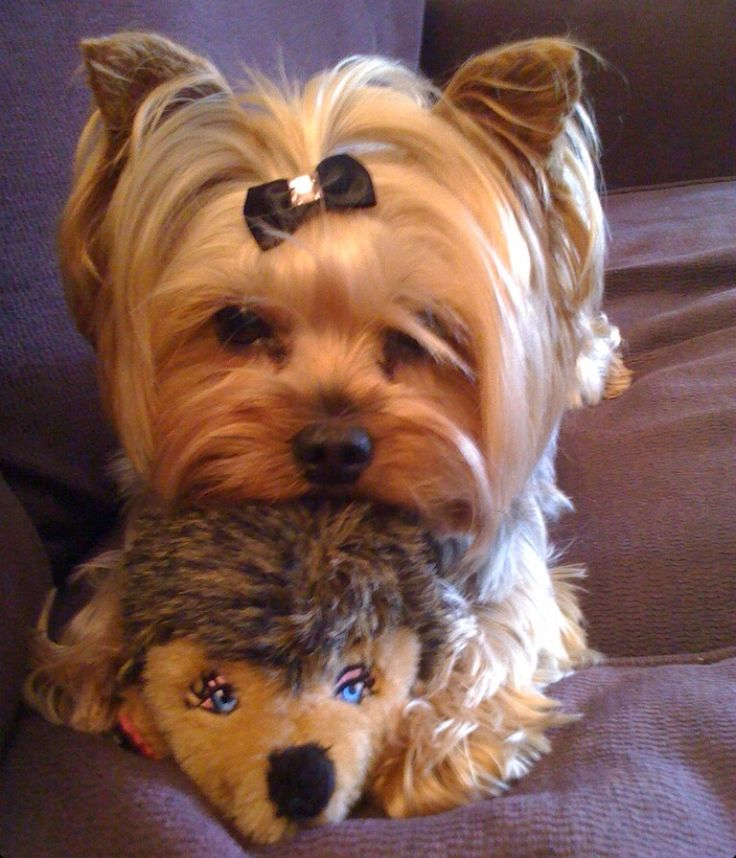 Can you tell who is the toy with images yorkie