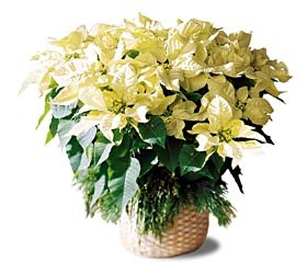 Large Poinsettia Basket    B6-3603      The elegant winter white poinsettia is a lovely variation to a classic holiday gift.    Approx. 21.0h x 24.0w     https://www.4165flower.com/index.asp?pid=4=viewproduct=9175=1