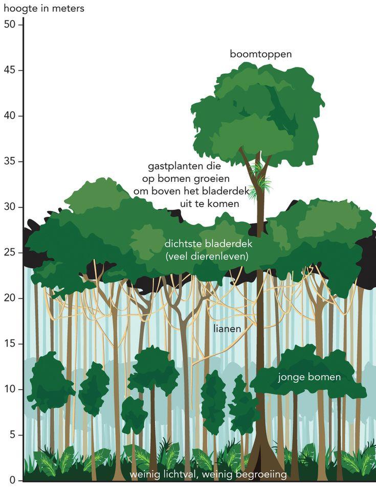 De Etages In Het Tropische Regenwoud