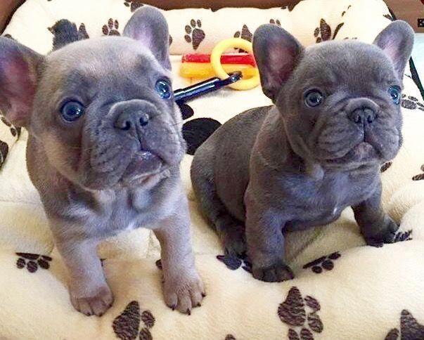 French Bulldog Fawn Frenchbulldogfullgrown French Bulldog Puppies