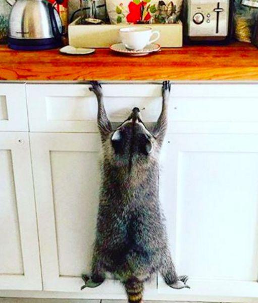 Pumpkin the Raccoon