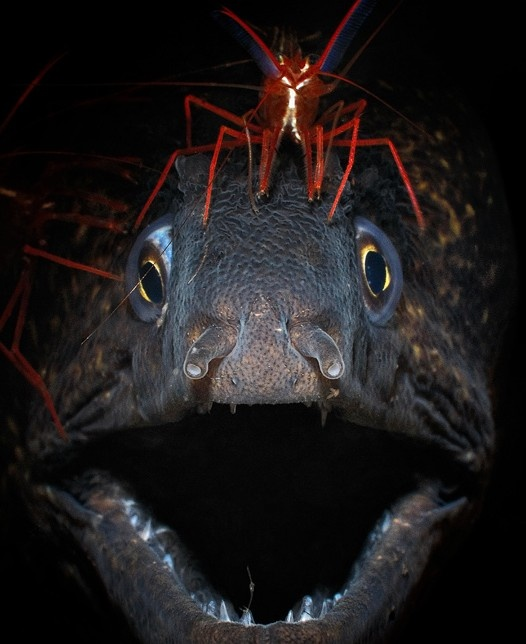 Eel and Cleaner Shrimp. - Most Amazing Photography