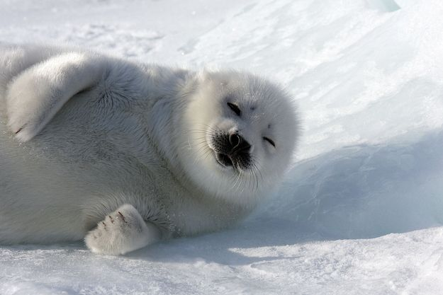 337 best Seal images on Pinterest | Baby seal, Baby harp ...