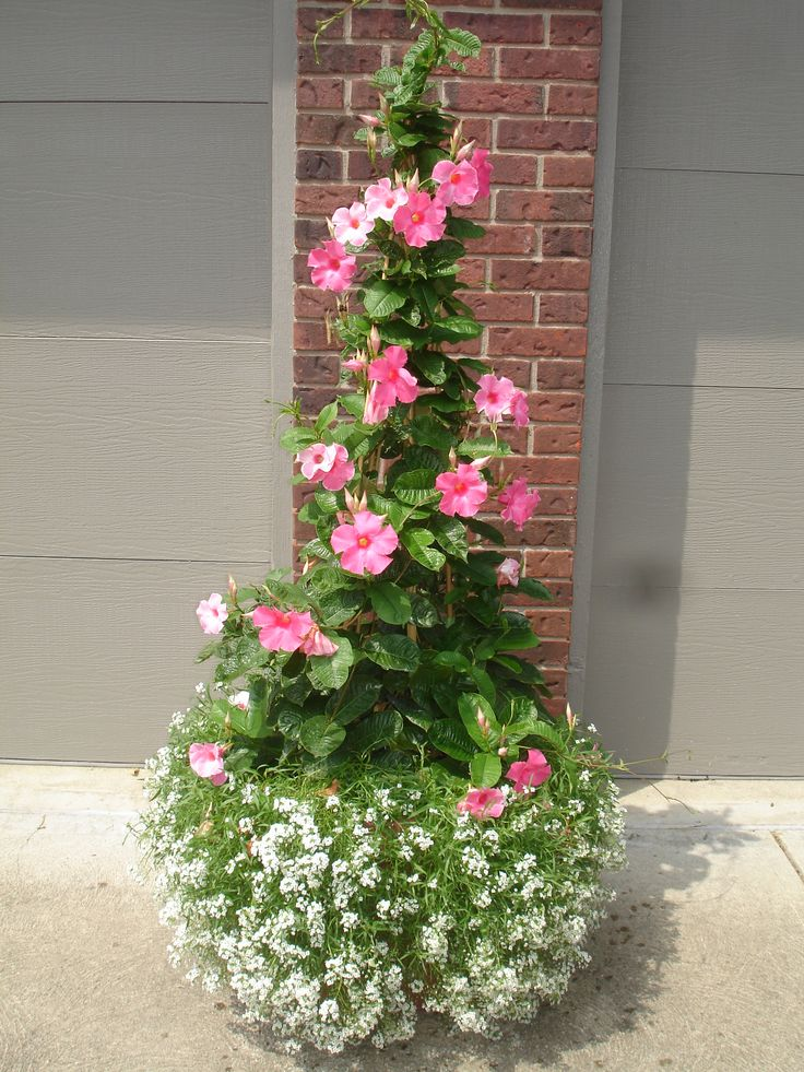Had this container last year!  to train use 3 stakes set in the shape of a teepee.  I love the red riding hood variety of mandevilla