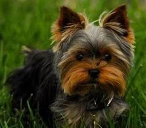 yorkshire terriers #yorkshireterrier