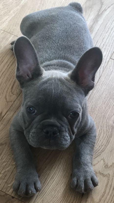 Frankie, a 10 week old French Bulldog Puppy
