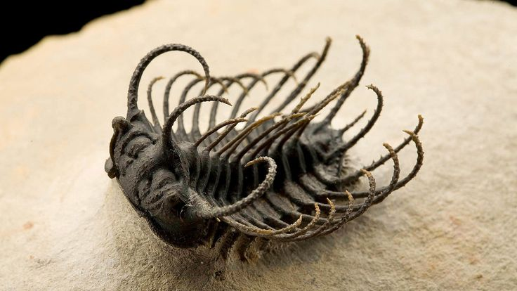 """When Trilobites Ruled the World / """"A well-preserved trilobite specimen from Morocco that lived during the Devonian Period roughly 400 million years ago."""""""