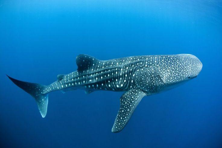 Nager avec les requins baleines de Donsol, une expérience inoubliable.