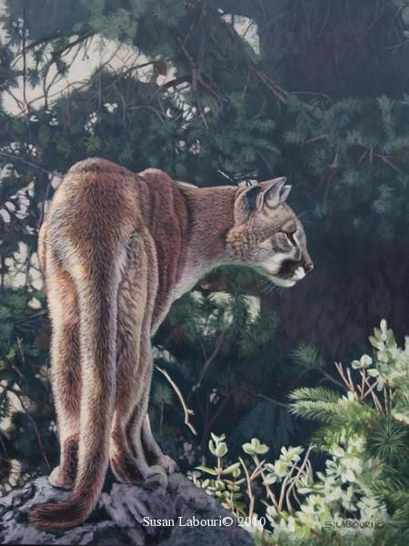 Mountain Lion Puma Cougar Original Paintings By