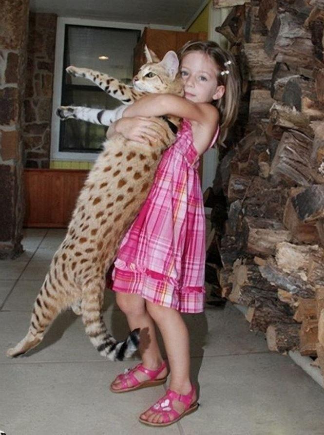 Rent To Own Bad Credit >> Un chat Savannah porté à bout de bras par une fillette   Lol Chats (lolcats)   Pinterest ...