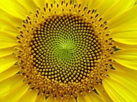 Semi di girasole - le spirali nel nome della successione di Fibonacci