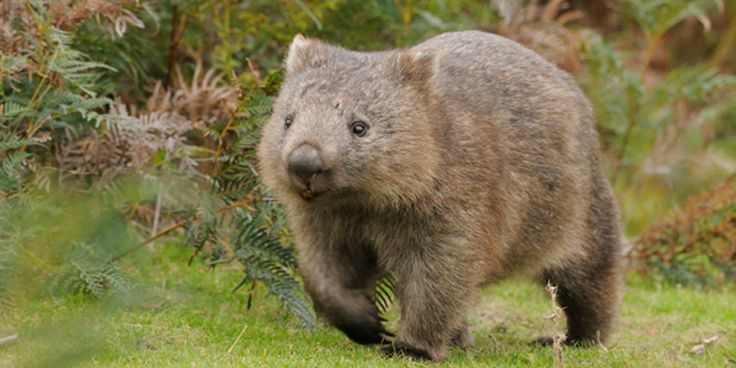 """The Wombat (genus Vombatidae) is a marsupial found only in Australia. Wombats are nocturnal creatures with powerful claws and rodent-like front teeth that they use for digging extensive burrows. Being marsupials, the wombat rears its young in a pouch, but the wombat's is backwards-facing – a useful evolutionary tweak that keeps the wombat from covering its young with soil when digging.  As the author of this website asks, """"They burrow, they gallop, they poop cubes. What's not to love?"""""""