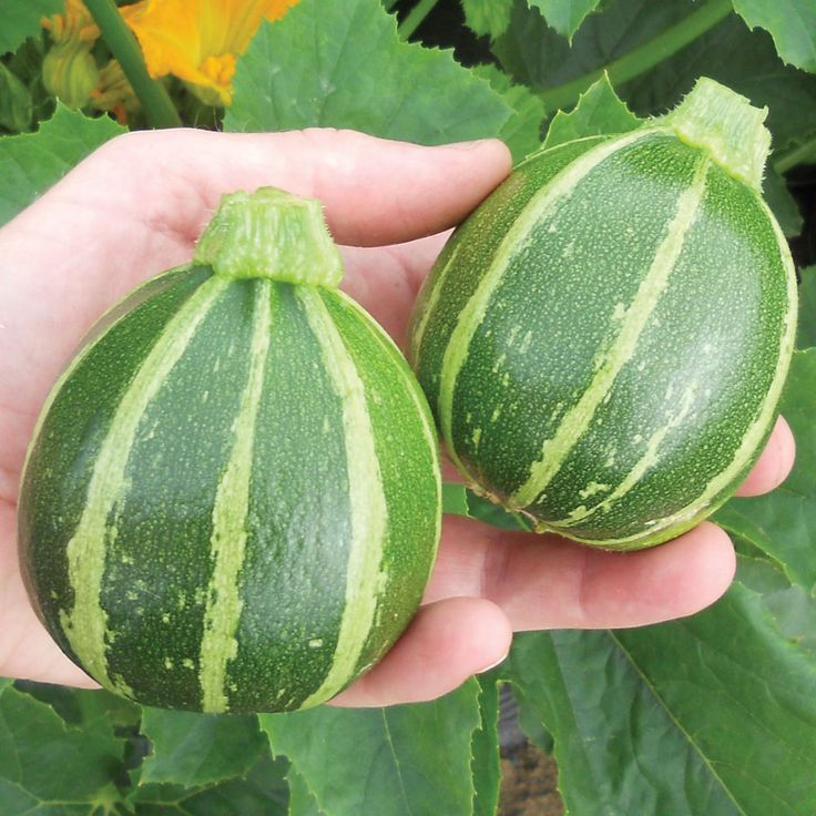 Courgette 'Eclipse' F1 Hybrid - Pumpkin, Squash & Courgette Seeds - Thompson & Morgan