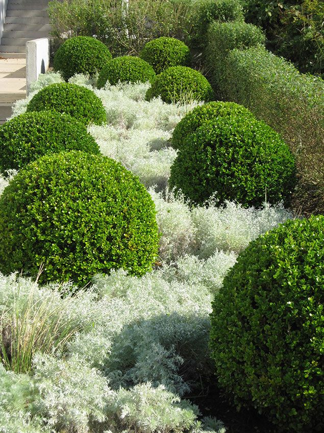 Boxwoods and artemesia( ?) or another flowering plant that gives this beautiful contrast!