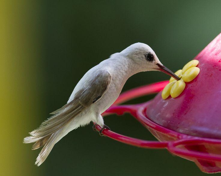 Best Hummingbirds Images On Pinterest Humming Birds - Photographer captures amazing close up photos of hummingbirds iridescent feathers