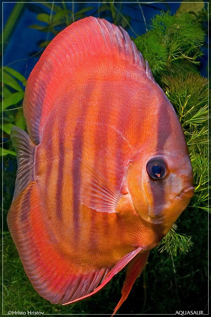 discus fish - Google Search                                                                                                                                                                                 More