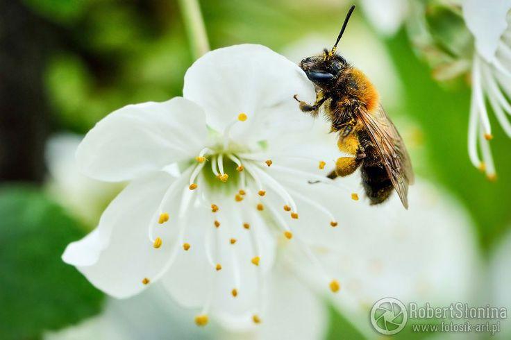 Zdjęcie pszczoły na kwitnącej wiśni