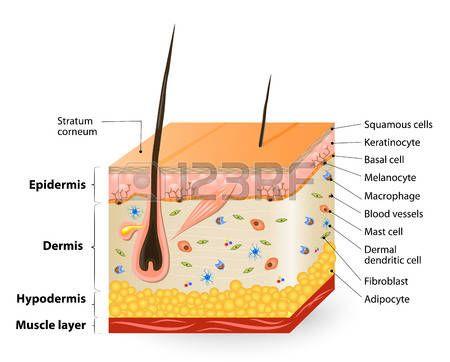 Estructura de la piel humana. Diagrama de la anatomía. diferentes tipos de células que pueblan la piel.