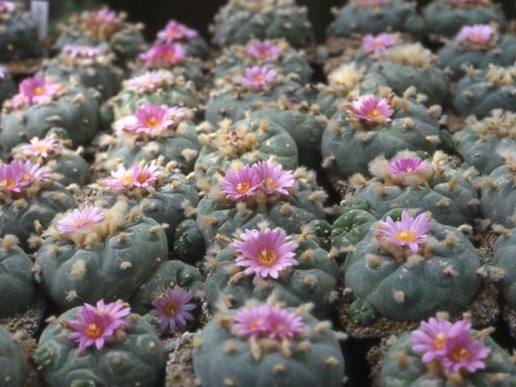 How to Grow and Care for Lophophora - See more at: http://worldofsucculents.com/how-to-grow-and-care-for-lophophora