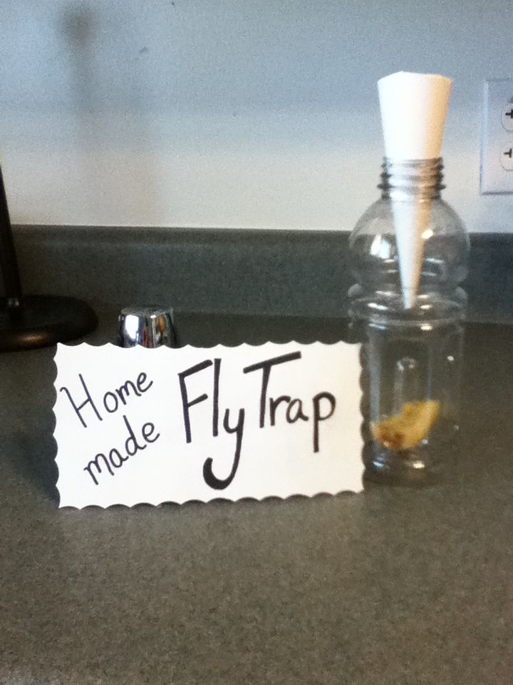 One rotten tomato later we have a million fruit flies. I tried a sticky fly trap from the store and that didn't do anything. So I read some articles  that talked about a home made fly trap, and it's really working! It is just a paper funnel in a jar ( or gatorade bottle) with a piece of fruit inside. Side note, fruit flies will lay eggs in your drains, so put something (more paper) over all your drains.