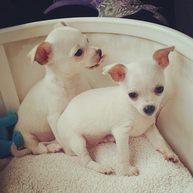 History And Origins Of Chihuahuas Training Your Dog Chihuahua