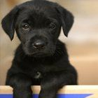 Cute Labrador Puppies Pictures
