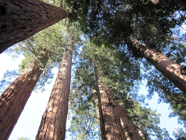 Genome Project Will Restore Health of Coast Redwood and Giant Sequoia Forests