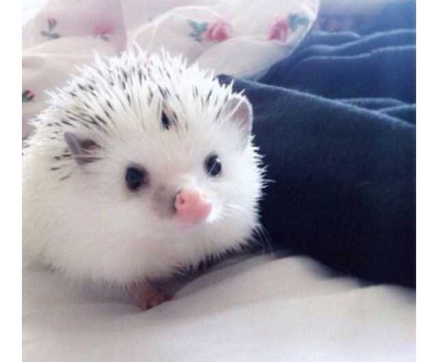 Pinto hedgehog                                                                                                                                                                                 More