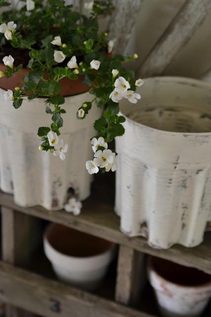 Bacopa: Flowers Gardens, Bakopa Flowers
