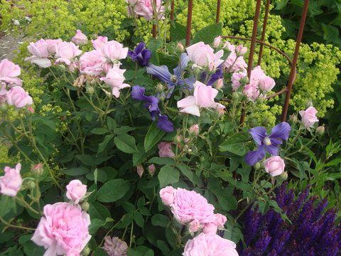 Rosen und Clematis - Clerotiker 2013 - Seite 187 - Rund um die Rose - Mein schöner Garten online