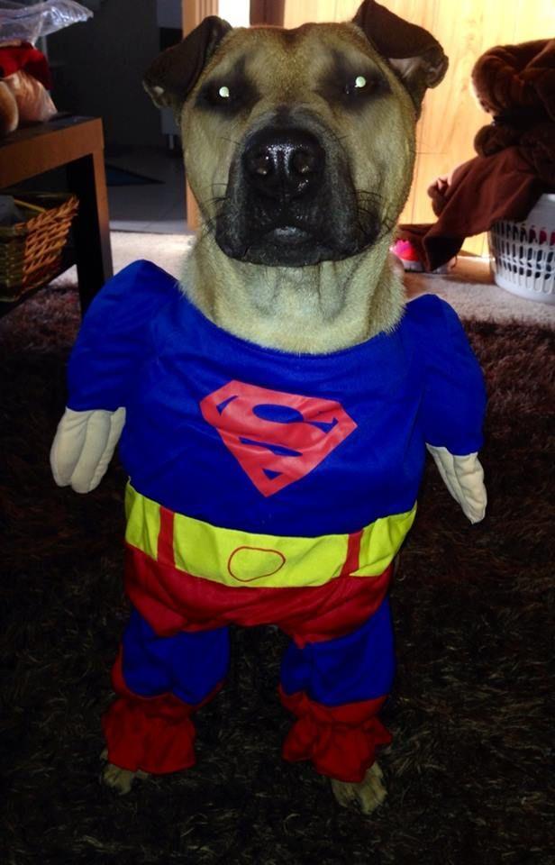 My super puppy! #Shapei #Staffy #PETstockHowlOween