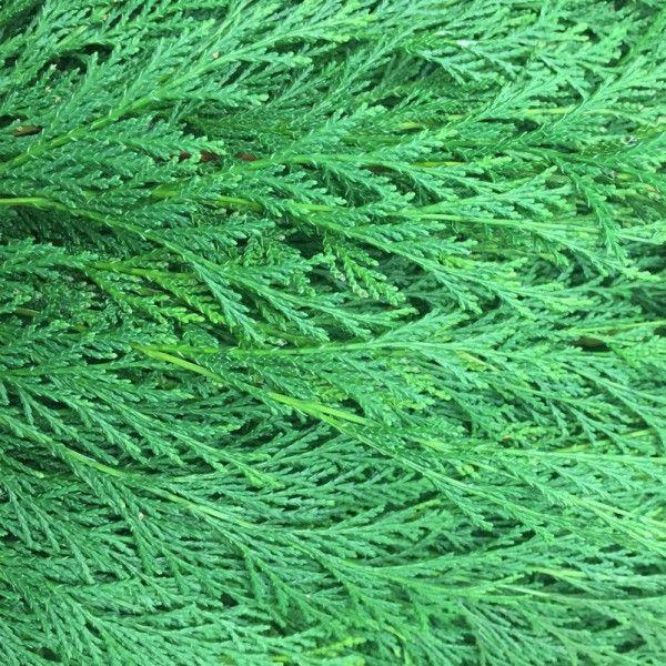 Adventsdeko von Pflanzen-Kölle: Kölle's Bio Zypresse grün Handbund  Allergikergeeignete grüne Zypresse aus ökologischem Landbau für Adventskränze, Sträuße oder Gestecke. Lange haltbar.
