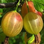 Plant A Gooseberry Shrub. ATTRACTS: Brown Thrasher bird.  Plant beneath fruit trees for shade.  Plant near an East wall for shade.  KEEP AWAY FROM WHITE PINES, WILL CAUSE BLISTER RUSH, A SERIOUS DISEASE TO WHITE PINES!!!  Mulch with straw or leaves to keep soil cool.   Wonderful delicious fruit!