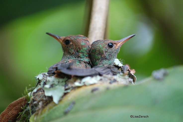 Scintillant Humminbird
