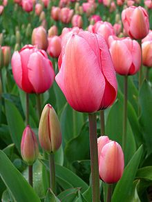 Tulip - Wikipedia, the free encyclopediaGerber Daisies, Flower Pictures, Water Gardens, Crochet Flower,  Rose Hip, Crochet Stitches,  Rosehip, Flower Beds, Pink Tulip