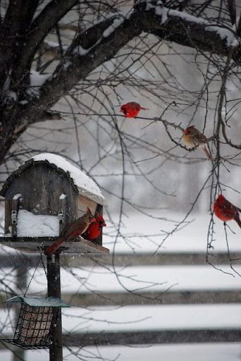 """First of all, I'm pinning this b/c I love cardinals, but the funny part is that the person I'm pinning it from named the pin """"Robins."""" LOL"""