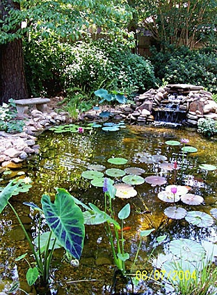17 best images about elephant ear plant on pinterest for Garden elephant pool