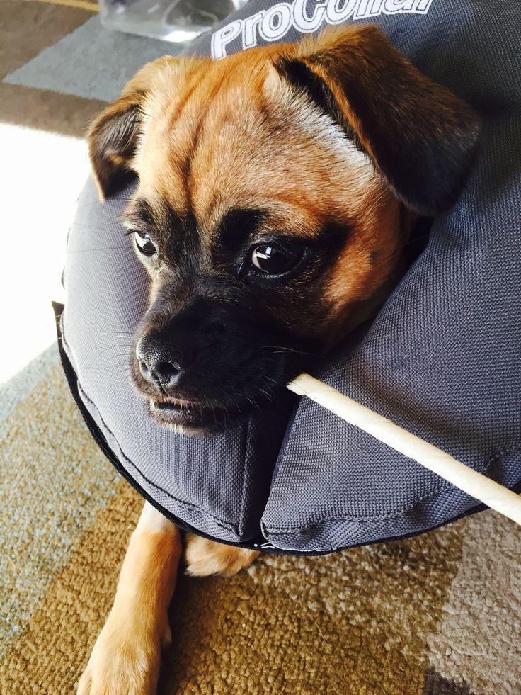 #chug inflatable dog collar. No more cone!