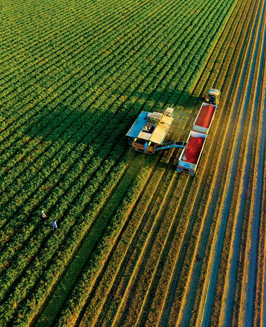 Harvesting tomatoes at the Farming D Ranch in Five Points, CA (Central Valley). Photo: Vincent Laforet for The New YorkTimes.