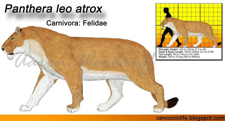 Life in the Cenozoic Era: American Lion (Panthera leo atrox)