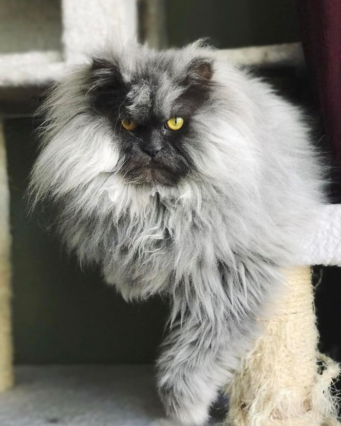 Meet Juno The Angriest Cat In The World Cats Silly Animals Angry Cat