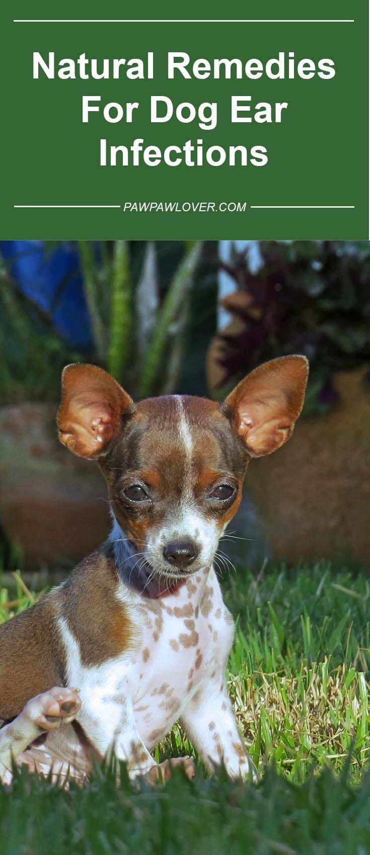 Natural Remedies For Dog Ear Infections 2019 – #15 Antibiotic