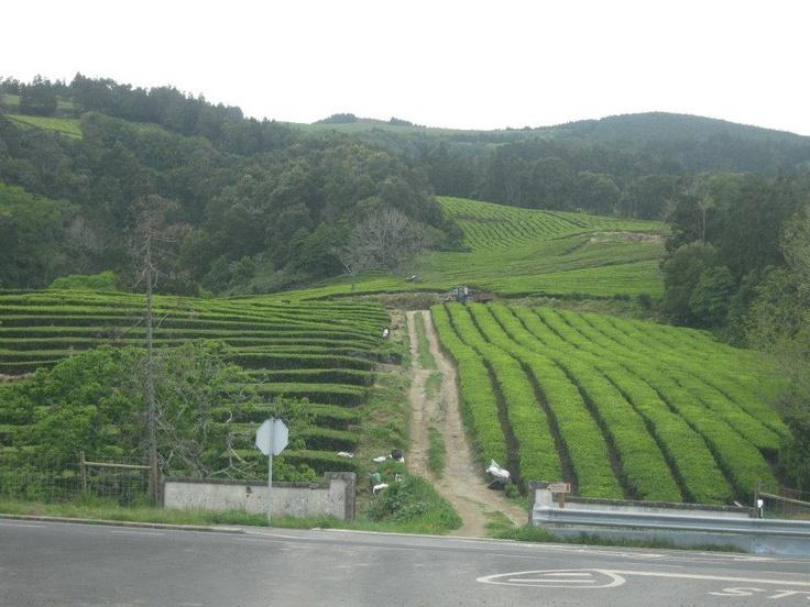 Field of teas