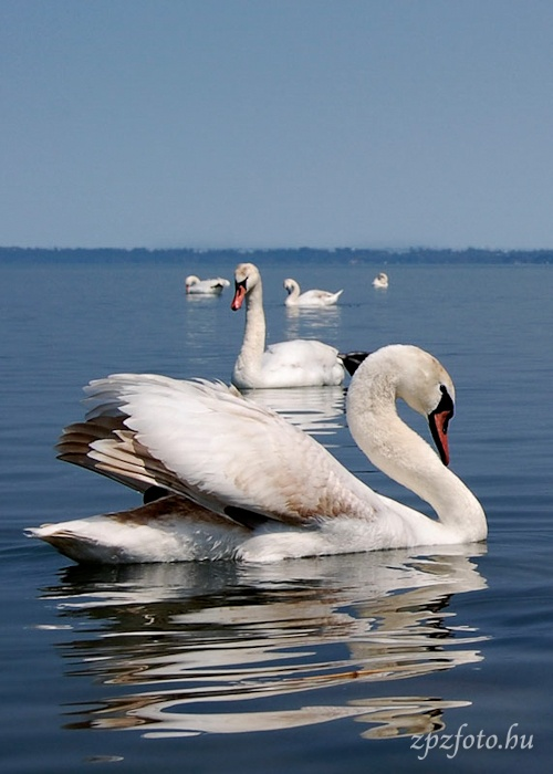 Swans - Lake Balaton #Hungary
