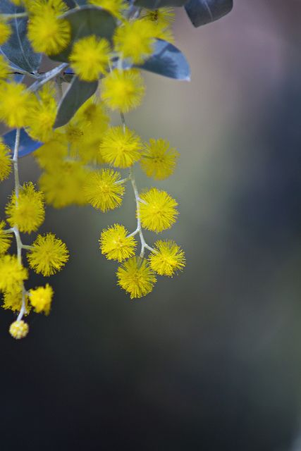 Acacia pycnantha (Golden Wattle) is the official Floral Emblem of Australia.