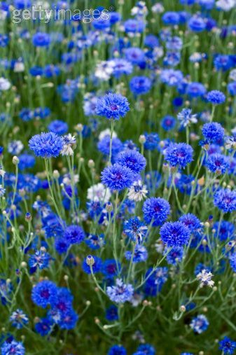 Cornflowers ~ The blue cornflower was one of the national symbols of Germany. This is partly due to the story that when Queen Louise of Prussia was fleeing Berlin & pursued by Napoleon's forces, she hid her children in a field of cornflowers & kept them quiet by weaving wreaths for them from the flowers. The flower thus became identified with Prussia & the same color as the Prussian military uniform. After the unification of Germany in 1871, it became a symbol of the country as a whole.