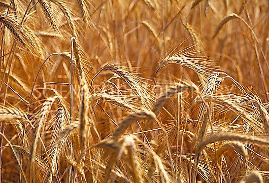 Triticale cereal crop