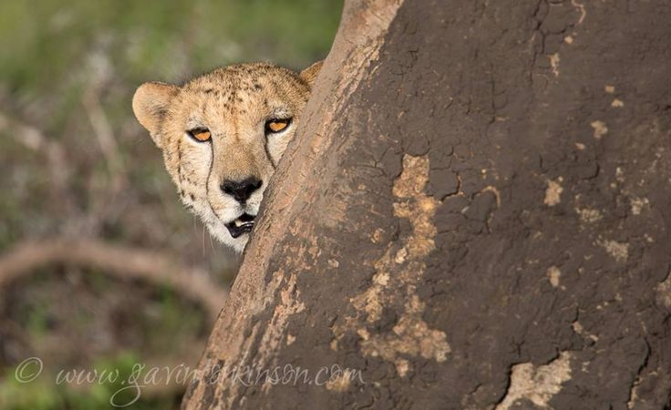 One of the Phinda male Cheetahs in the afternoon sun... Beautiful introduction into the park Photo Credit: Gavin Thonkison