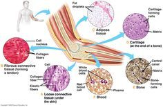 Connective tissue connects body parts. Performs many functions: protecting, supporting, & binding together other body tissues. Extracellular Matrix. Major connective tissues classes: bone, cartilage, dense connective tissue, loose connective tissue, & blood.
